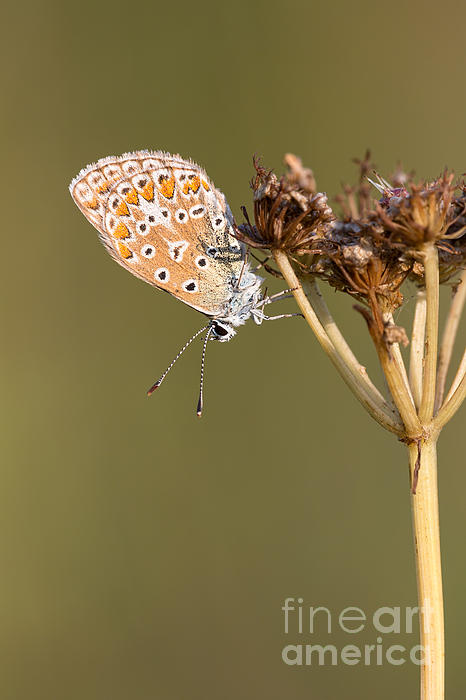 Mark Monckton - Beautiful Common Blue Butterfly