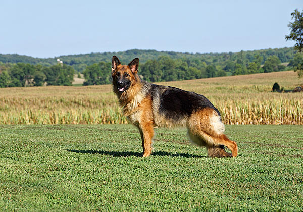 Sandy Keeton - Beautiful German Shepherd