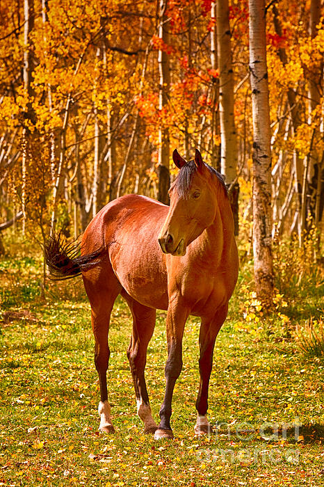 Beautiful Horse In The Autumn Aspen Colors Print by James BO  Insogna