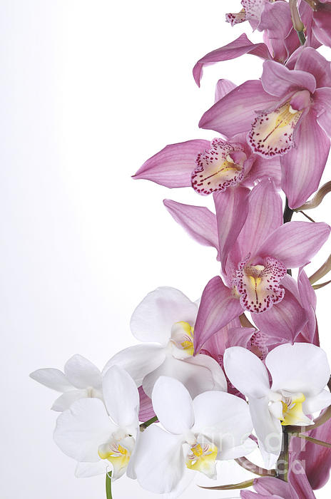 Beautiful Orchid Pink Print by Boon Mee