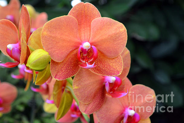 Beautiful Orchids Print by Anne Marie Corbett