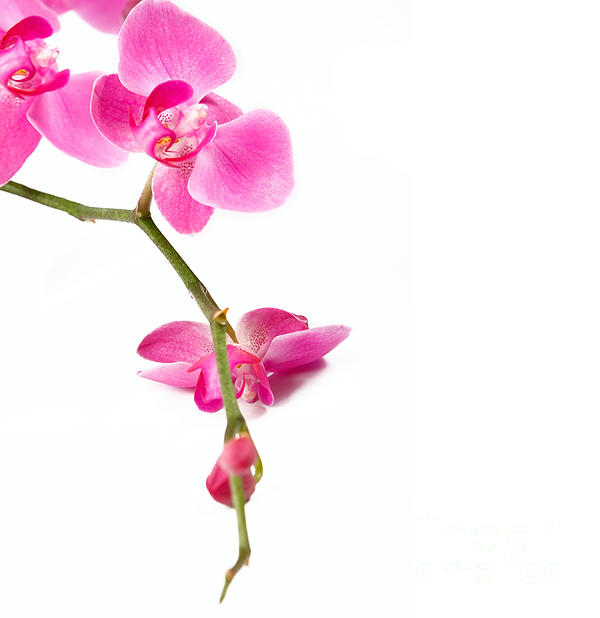 Beautiful Orchids Print by Boon Mee