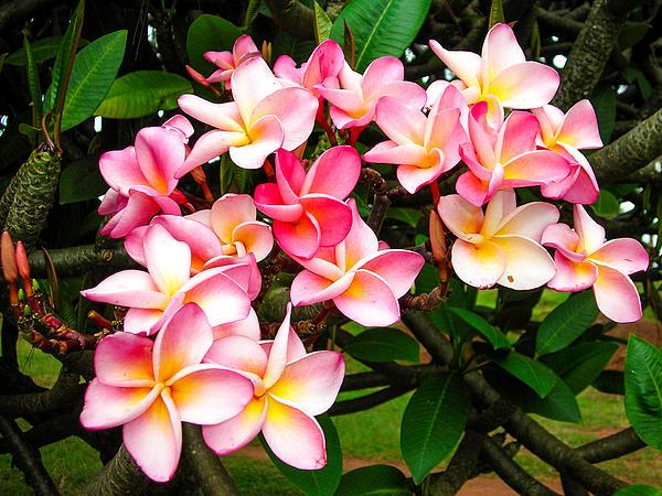 Beautiful Pinkish And White Frangipani Tropical Flowers Butare Rwanda Africa Print by Robert Ford