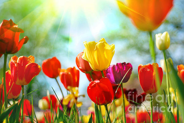 Beautiful Spring Tulips Print by Boon Mee