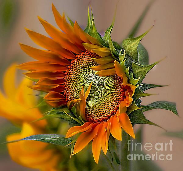 Beautiful Sunflower Print by John  Kolenberg