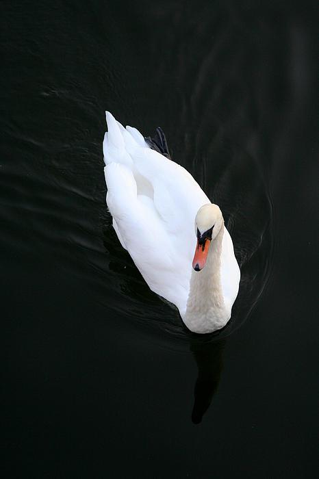 Beautiful Swan Print by Allan Millora