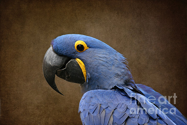 Sharon Mau - Beauty is an Enchanted Soul - Hyacinth Macaw - Anodorhynchus hyacinthinus