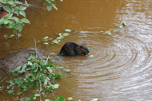 Beaver Youngster At Lunch Print by Sandra Updyke