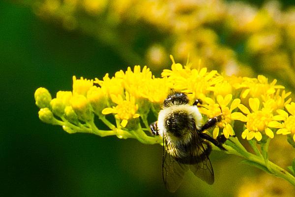 Kathy Liebrum Bailey - Bee On Goldenrod