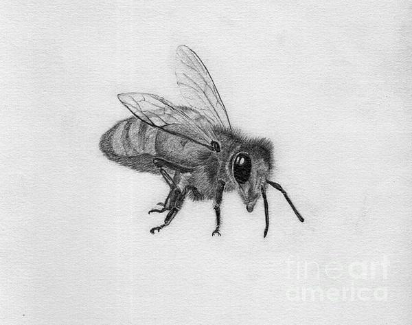 Bee Pencil Drawing Print by Dan Julien