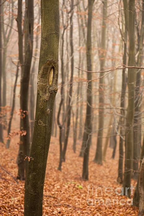 Beech Wood In Autumn Print by Anne Gilbert