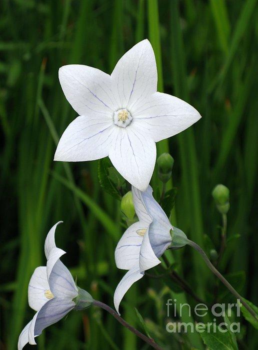 Ann Horn - Bellflower - Campanula carpatica