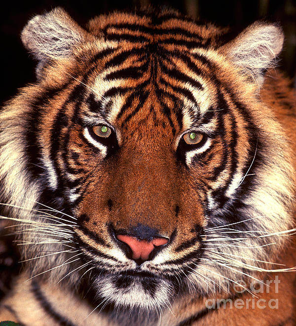 Paul W Faust -  Impressions of Light - Bengal Tiger - 2