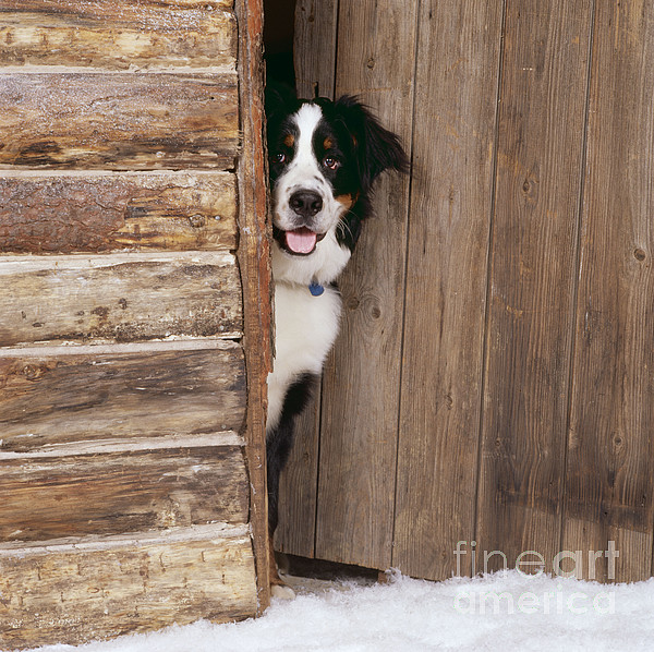 Bernese Mountain Dog At Log Cabin Door Print by John Daniels