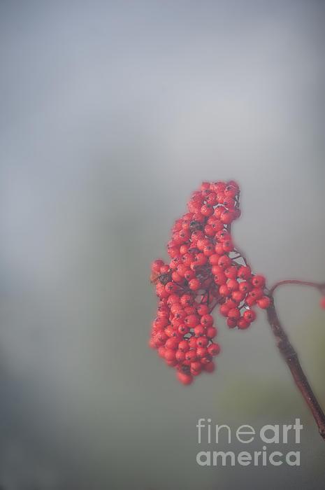 Berries In Fog Print by Dan Friend