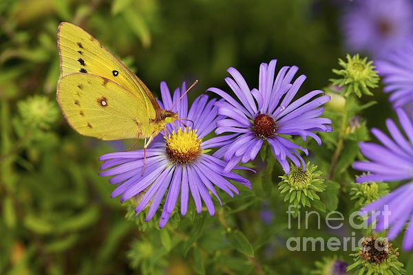 Jane Eleanor Nicholas - Best Friends - Sulphur butterfly on Asters