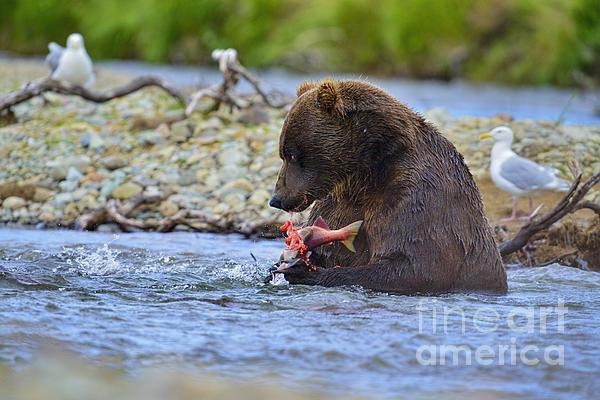 Big Brown Bear Eating Salmon In Stream Print by Dan Friend