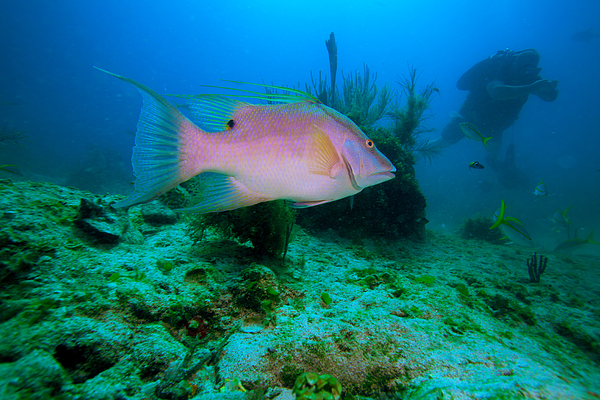Big rose fish and diver cayo largo cuba by rostislav ageev for Big fish printing