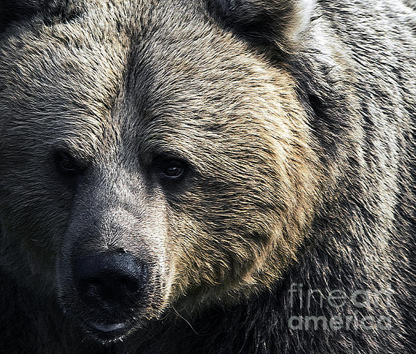 Bigger Than The Average Bear Print by Rick Bransby