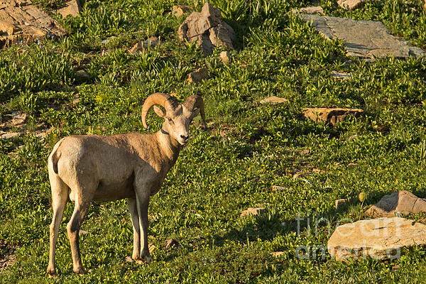 Bighorn Sheep Ram In Glacier 4 Print by Natural Focal Point Photography