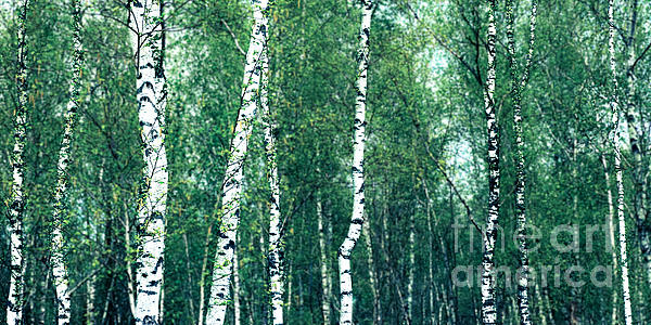 Birch Forest - Green Print by Hannes Cmarits
