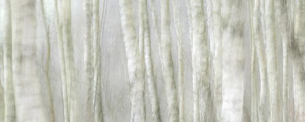 Birch Tree Impression No 1 Print by Andy-Kim Moeller
