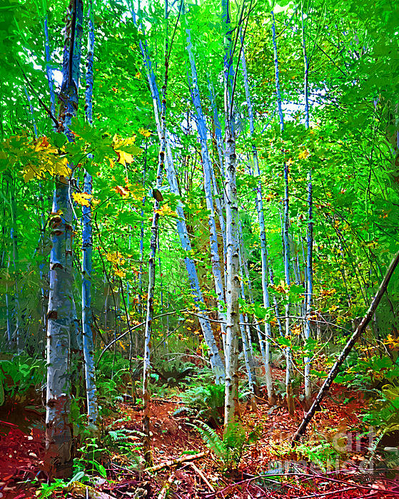Kirt Tisdale - Birch Trees in the Woods