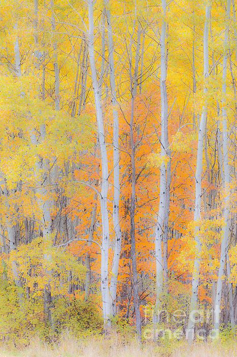 Alan L Graham - Birch Woods Autumn