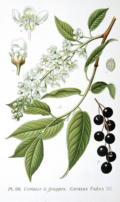 Bird Cherry Cerasus Padus Or Prunus Padus Print by Anonymous