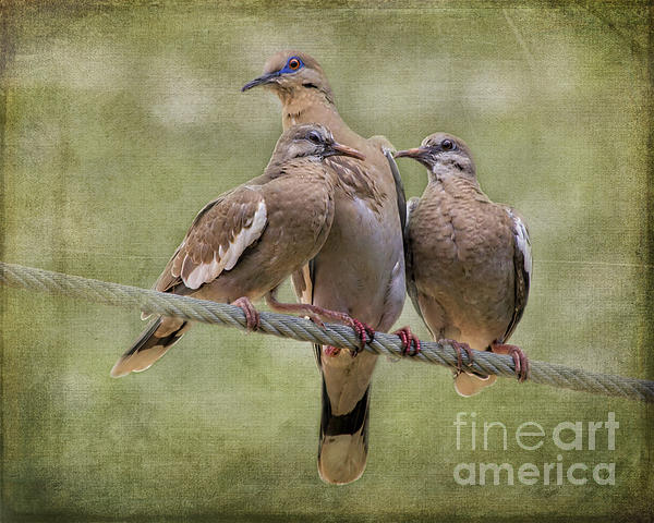 Tessa Fairey - Bird on a Wire - White-winged Doves