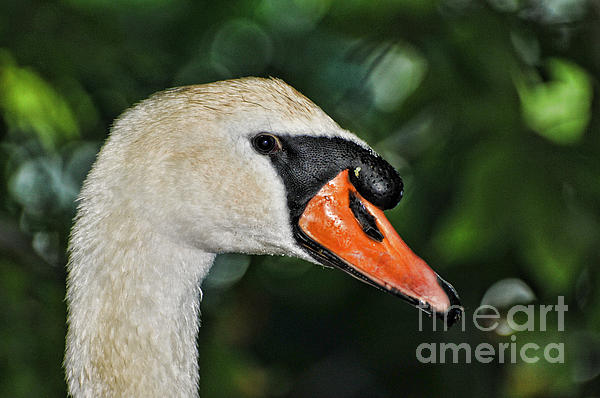 Bird - Swan - Mute Swan Close Up Print by Paul Ward