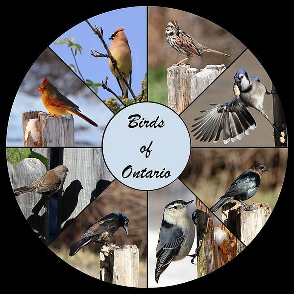 Birds Of Ontario Print by Davandra Cribbie