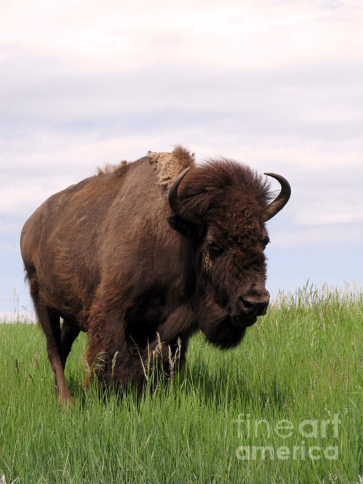 Bison On The Prairie Print by Olivier Le Queinec