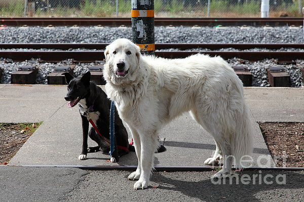 Black And White Dogs 5d25873 Print by Wingsdomain Art and Photography