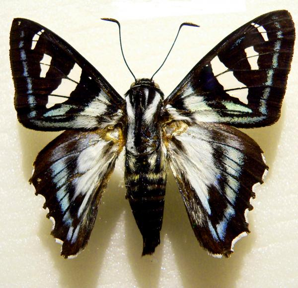 Black And White Moth Print by Rosalie Scanlon