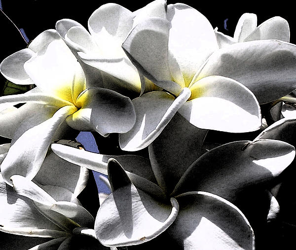 Karen Nicholson - Black and White Plumeria