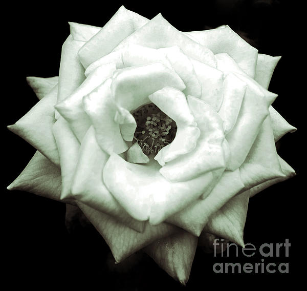 Michael Cross - Black and White Rose