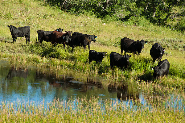 Black Angus Cattle Grazing Kolob Area Markagunt Plateau Utah Print by Robert Ford