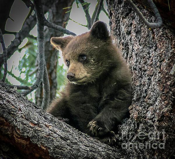Mitch Shindelbower - Black Bear Cub