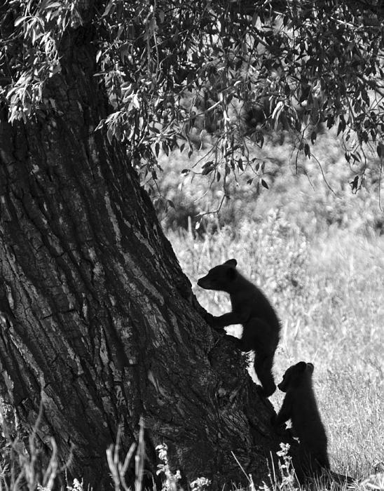 Black Bear Cubs Climbing A Tree Print by Crystal Wightman