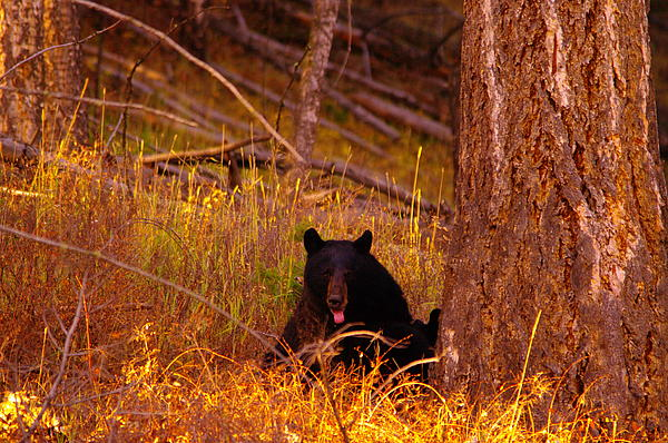 Jeff  Swan - Black bear sticking out her tongue