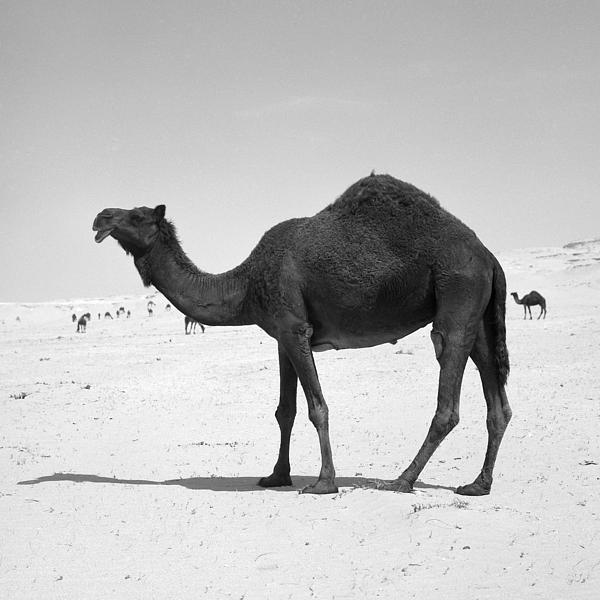 Black Camel In Qatar Print by Paul Cowan
