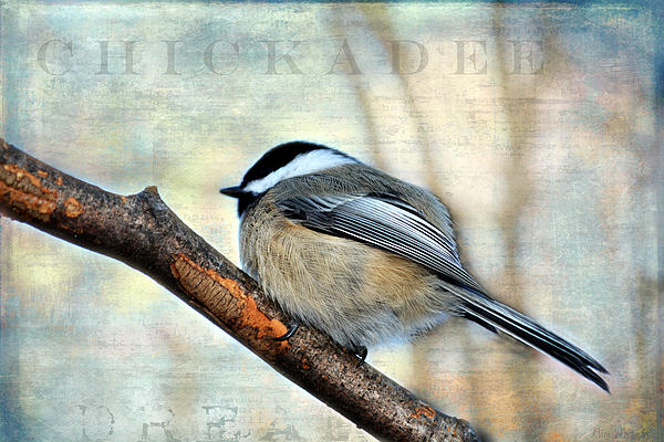 Mim White - Black Capped Chickadee