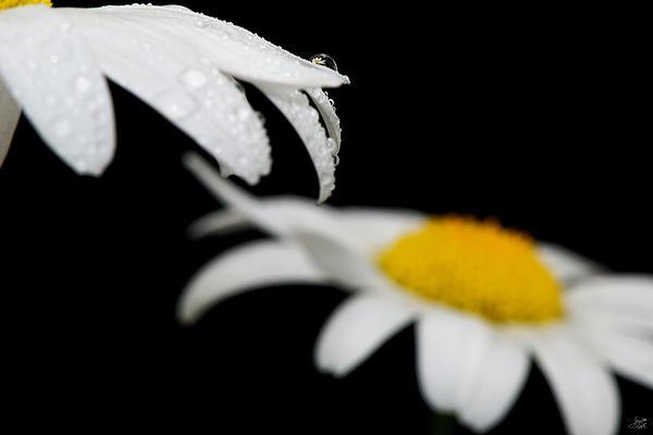 Black Daisy Reflection Print by Lisa Knechtel