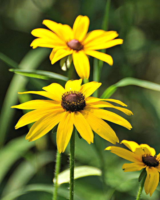 Black Eyed Susan Print by Marty Koch