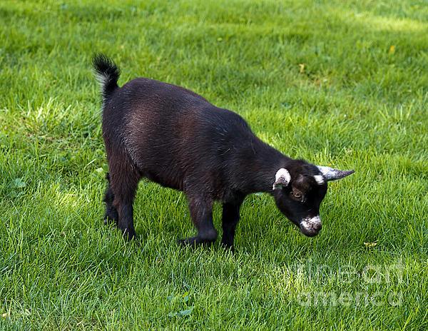 Terry Weaver - Black Goat