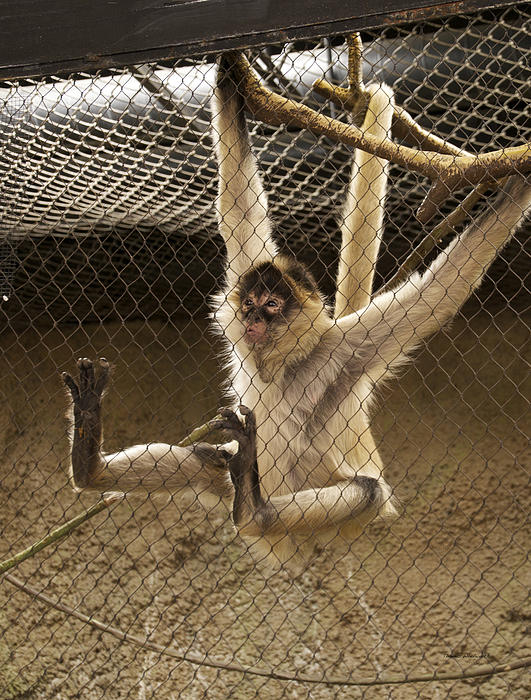 Black Handed Spider Monkey Just Sitting Around Print by Thomas Woolworth