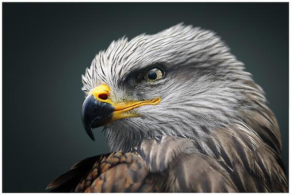 John Fotheringham - Black Kite