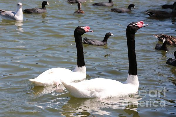Black-necked Swans Print by Carol Groenen