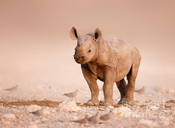 Black Rhinoceros Baby Print by Johan Swanepoel
